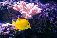 Tropical fish swim near coral reef. Underwater life. Royalty Free Stock Photos