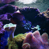 Tropical fish swim near coral reef. Underwater life. Royalty Free Stock Photo
