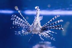 Tropical fish swim near coral reef. Underwater life. Stock Photo