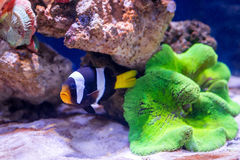 Tropical fish swim near coral reef. Underwater life. Stock Photography