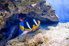 Tropical fish swim near coral reef. Underwater life. Royalty Free Stock Image