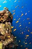 Tropical fish swim in ocean Royalty Free Stock Images