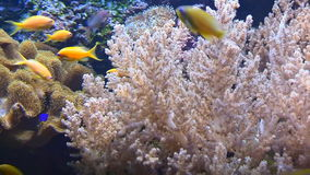 Tropical fish swim underwater among corals. Bright multicolored tropical fish swim underwater among corals stock footage