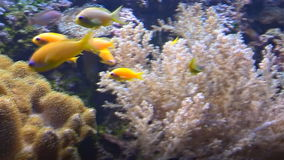 Tropical fish swim underwater among corals. Bright multicolored tropical fish swim underwater among corals stock video footage