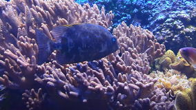 Tropical fish swim underwater among corals stock video