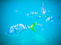 Tropical fish swiming in clear blue water. Wildlife scene with tropical fish swiming in the clear blue water of the ocean Royalty Free Stock Photos