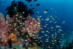 Tropical Fish Swimming Above Pacific Reef Stock Photography