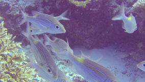 Tropical fish swimming above a shallow coral reef stock footage