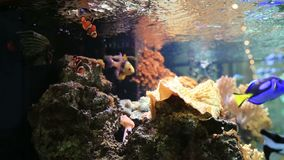 Tropical fish swimming in aquarium. Some tropical fish swimming in aquarium video stock video