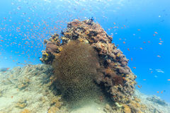 Tropical fish swimming around a coral pinnacle. Various types of tropical fish cluster around a coral pinnacle in shallow water royalty free stock image