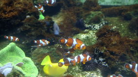 Tropical fish. Swimming around coral reef stock footage
