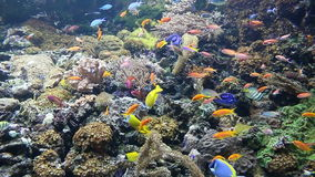 Tropical fish swimming. On coral reef stock video footage