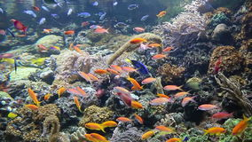 Tropical fish swimming. On coral reef stock footage
