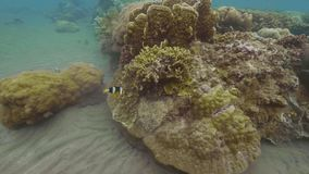 Tropical fish swimming near coral reef on sea bottom. Swimming fish in clear ocean underwater view. Watching marine life.  stock footage