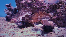 Tropical Fish Swimming over Sea Anemones 4K. Beautiful tropical aquarium with sea anemones and tropical fishes stock video footage