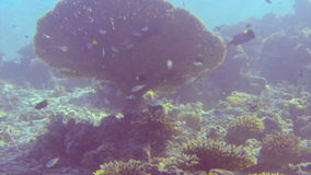 Tropical fish swimming past a beautiful fan coral stock footage