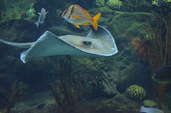 Tropical Fish Swimming with A Ray Along a Coral Reef Royalty Free Stock Photos