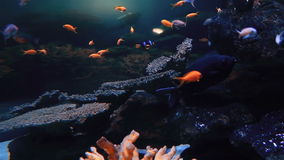Tropical fish swimming in a tank stock video footage