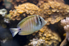 Tropical fish swimming in a tank Stock Photo