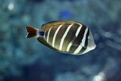 Tropical fish swimming underwater Royalty Free Stock Image