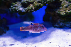 Tropical fish swims near coral reef Royalty Free Stock Image