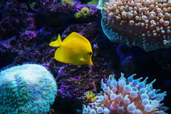 Tropical fish swims near coral reef Royalty Free Stock Photo