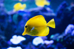 Tropical fish swims near coral reef Royalty Free Stock Photos