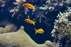 Tropical fish swims near coral reef Stock Images