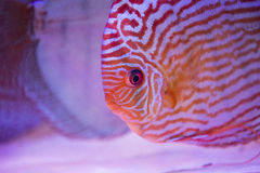 Tropical fish of the Symphysodon discus spieces Royalty Free Stock Photo