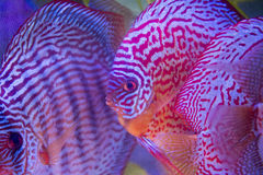tropical fish of the Symphysodon discus spieces Royalty Free Stock Images