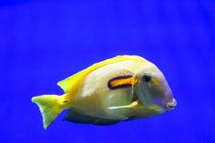 Tropical fish. Taken in florida Royalty Free Stock Photos