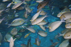 Tropical fish, Thailand. Royalty Free Stock Image