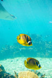 Tropical fish. There are two beautiful tropical fish royalty free stock image