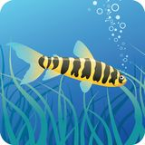Tropical fish under water. Black and yellow striped tropical fish on the blue underwater background with seaweed Royalty Free Stock Photo