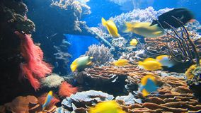 Tropical fish under water. Colorful tropical fish on coral reef stock footage