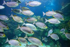 Tropical Fish Underwater Royalty Free Stock Images