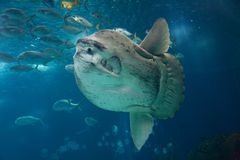 Tropical fish underwater. Scenic illustration of large tropical fish swimming underwater, chasing school of smaller fish Royalty Free Stock Photography