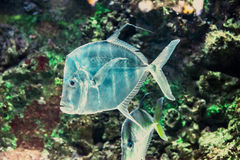 Tropical fish Royalty Free Stock Images