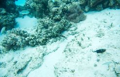 Tropical Fish Variety in Pacific Ocean: New Caledonia. Three spot wrasse, sixbar wrasse, clownfish, and other tropical fish swimming in coral reef system off the stock images