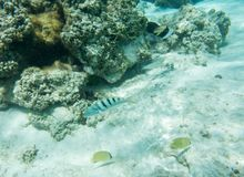 Tropical Fish Variety at Yejele Beach. Citron butterflyfish, sixbar wrasse, threespot wrasse, surgeonfish and picasso triggerfish in the crystal clear underwater royalty free stock image