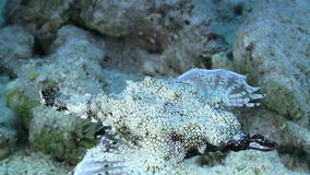 Tropical Fish on Vibrant Coral Reef. Tropical Fish on Coral Reef, closeup, Red sea stock video footage