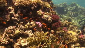 Tropical Fish on Vibrant Coral Reef. Red sea stock video footage