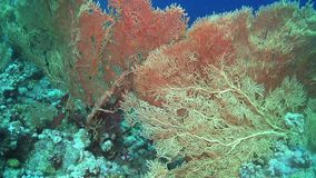 Tropical Fish on Vibrant Coral Reef. Red sea stock video