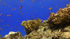 Tropical Fish on Vibrant Coral Reef. Static scene stock video footage