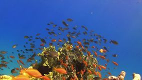 Tropical Fish on Vibrant Coral Reef. Static scene stock footage