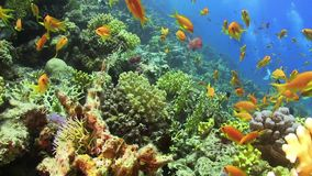 Tropical Fish on Vibrant Coral Reef. Static scene stock video