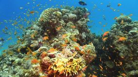 Tropical Fish on Vibrant Coral Reef stock footage