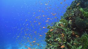 Tropical Fish on Vibrant Coral Reef. Underwater scene stock video footage