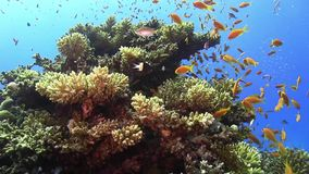 Tropical Fish on Vibrant Coral Reef stock video