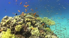 Tropical Fish on Vibrant Coral Reef stock video footage